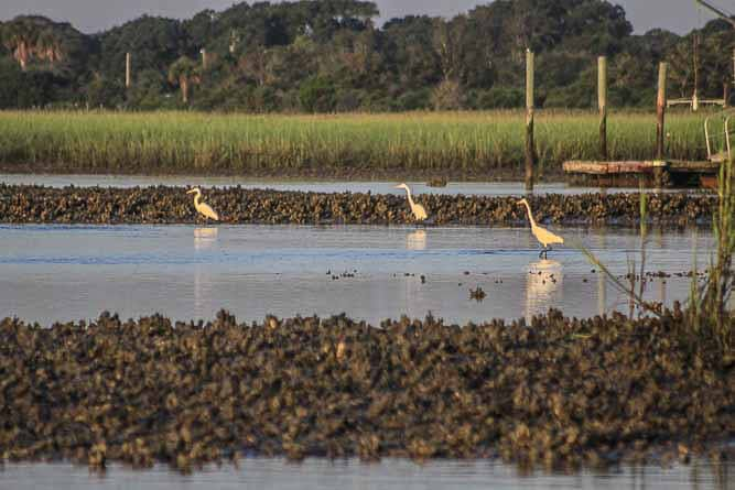 Egrets fishing for minnows in between oyster beds